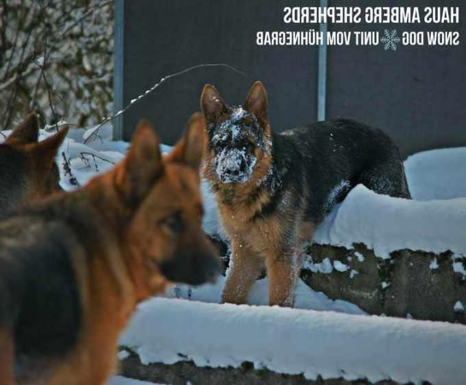 German Shepherd Love