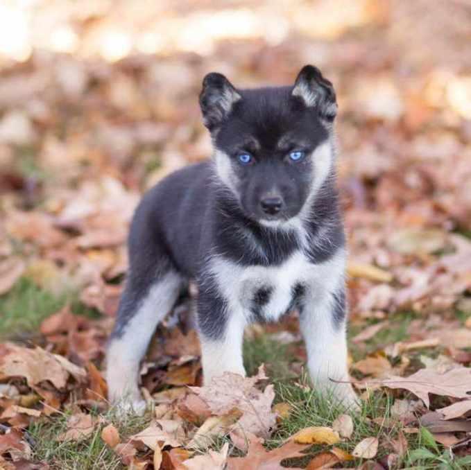 German Shepherd Mix Puppies Oregon