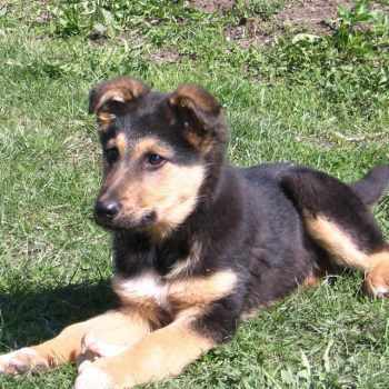 German Shepherd Mix Puppies