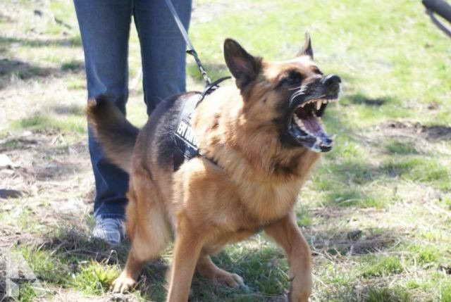 German Shepherd North Dakota