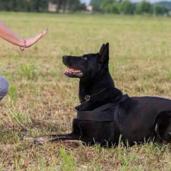 German Shepherd Obedience School