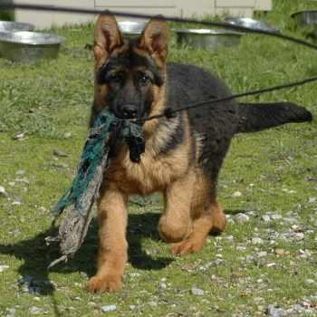German Shepherd Obedience Training Cost