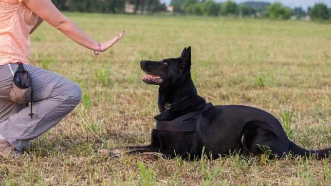German Shepherd Obedience