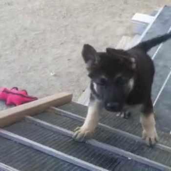 German Shepherd Obstacle Course