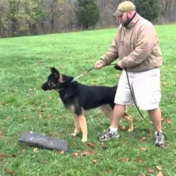 German Shepherd Personal Protection