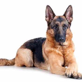 German Shepherd Photos