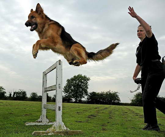 German Shepherd Police Dog Training