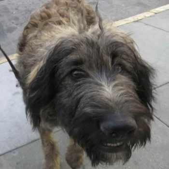 German Shepherd Poodle Mix For Sale