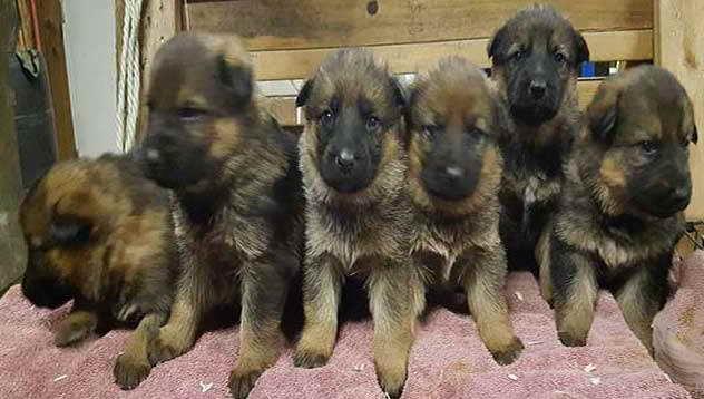 German Shepherd Puppies Adoption Ohio