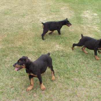 Black German Shepherd Rescue | PETSIDI