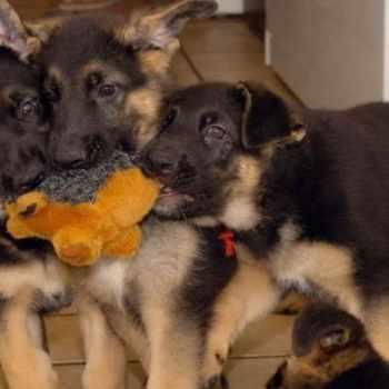 German Shepherd Puppies Bakersfield