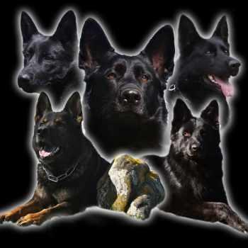German Shepherd Puppies Bay Area