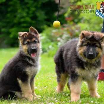 German Shepherd Puppies California
