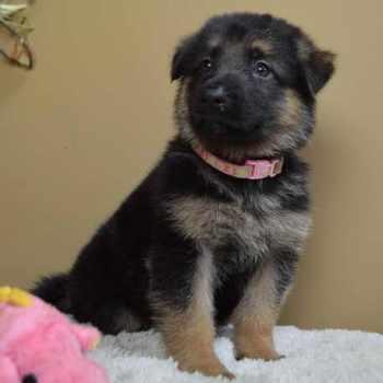 German Shepherd Puppies Chattanooga