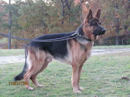 German Shepherd Puppies Columbia Sc