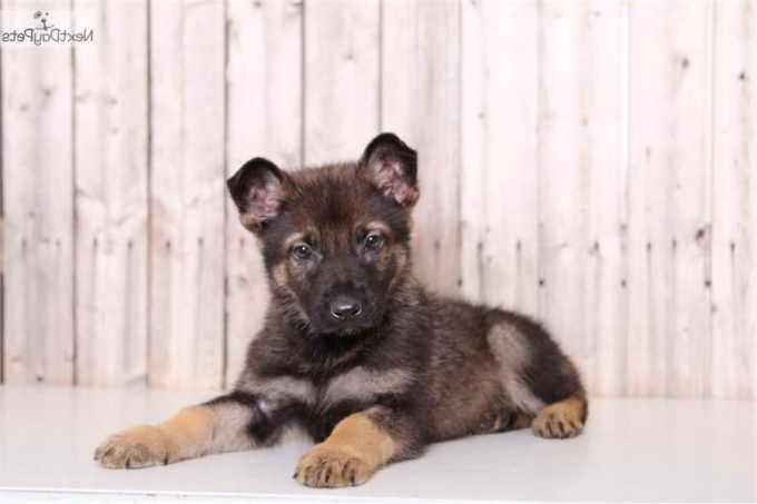 German Shepherd Puppies Columbus Ohio