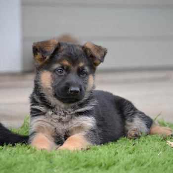 German Shepherd Puppies For 100 Dollars