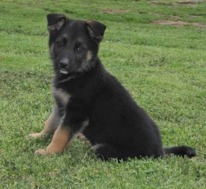 German Shepherd Puppies For Adoption In Oklahoma