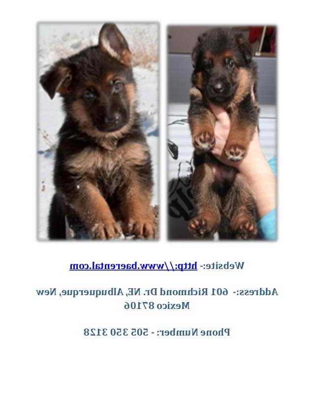 German Shepherd Puppies For Sale Albuquerque