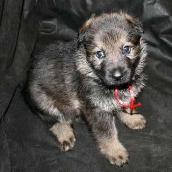 German Shepherd Puppies For Sale California