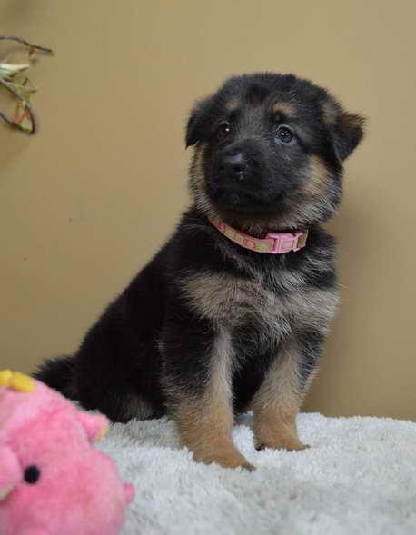 German Shepherd Puppies For Sale Chattanooga Tn