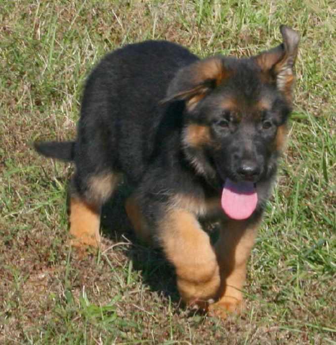 German Shepherd Puppies For Sale Cheap Price