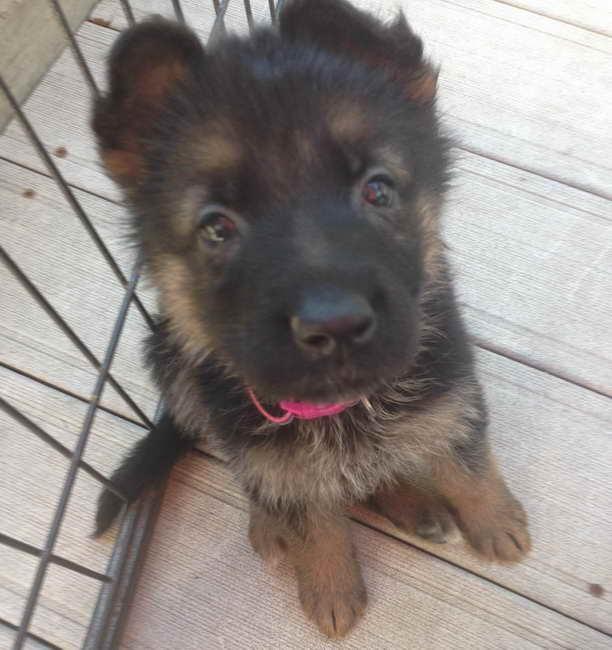 German Shepherd Puppies For Sale In Chicago