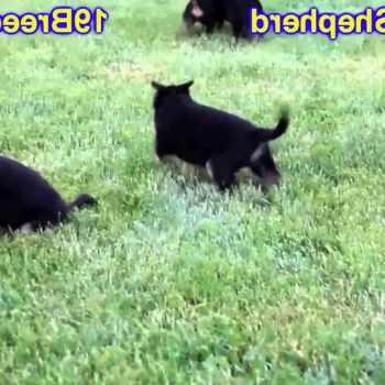 German Shepherd Puppies For Sale In El Paso Tx
