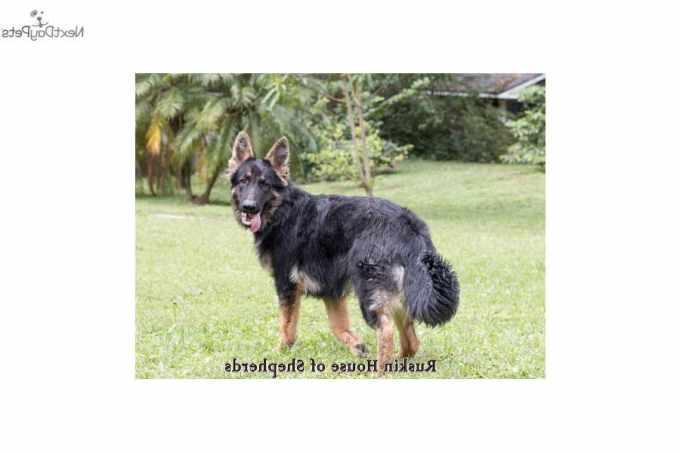 German Shepherd Puppies For Sale In Florida Tampa