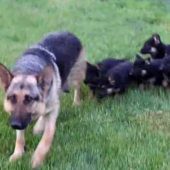 German Shepherd Puppies For Sale In Ga