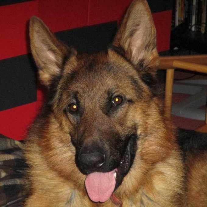 German Shepherd Puppies For Sale In Grand Rapids Michigan