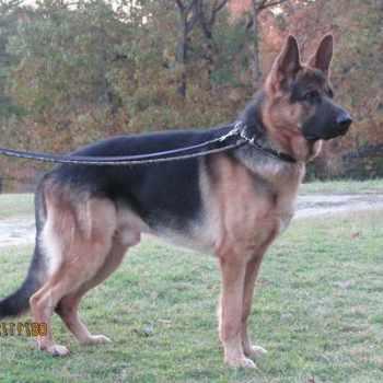 German Shepherd Puppies For Sale In Greenville Sc