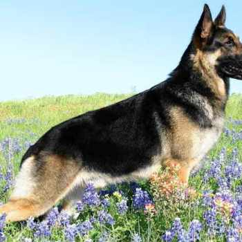German Shepherd Puppies For Sale In Hattiesburg Ms