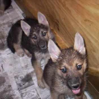 German Shepherd Puppies For Sale In Indiana