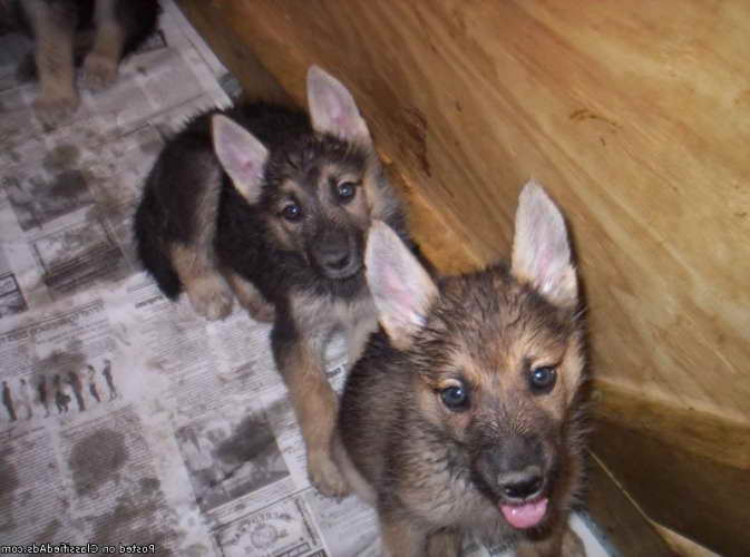 German Shepherd Puppies For Sale In Indiana