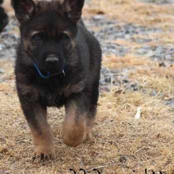 German Shepherd Puppies For Sale In Jackson Tn