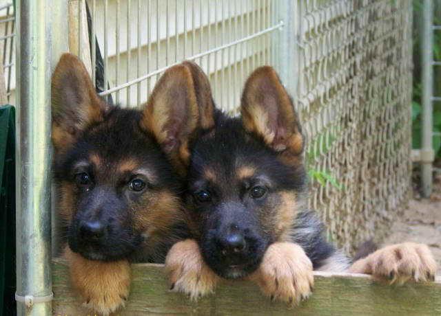 German Shepherd Puppies For Sale In Nebraska