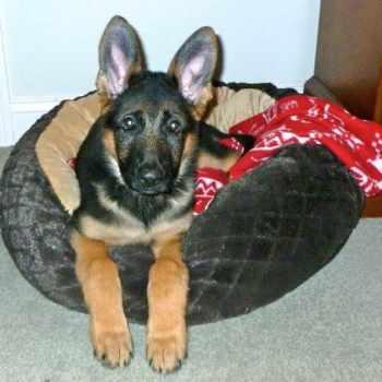German Shepherd Puppies For Sale In Nh