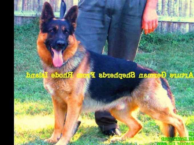 German Shepherd Puppies For Sale In Rhode Island