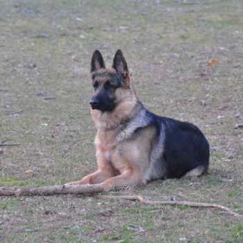 German Shepherd Puppies For Sale In Va