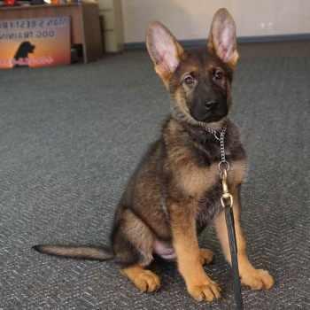 German Shepherd Puppies For Sale In Washington State
