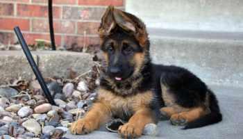 German Shepherd Wichita Ks | Pets and Dogs