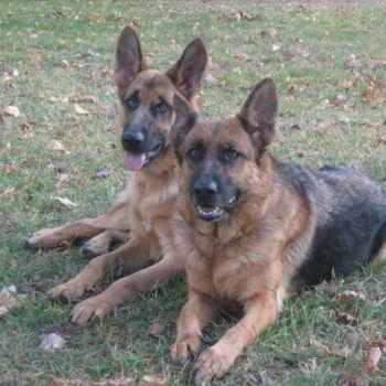 German Shepherd Puppies For Sale In Wisconsin