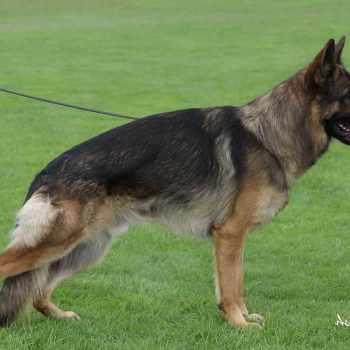 German Shepherd Puppies For Sale Inland Empire