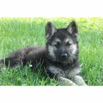 German Shepherd Puppies For Sale Mobile Al