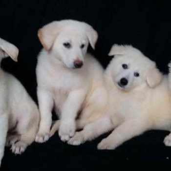 German Shepherd Puppies For Sale Orlando Fl