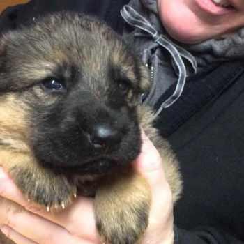 German Shepherd Puppies For Sale Pennsylvania