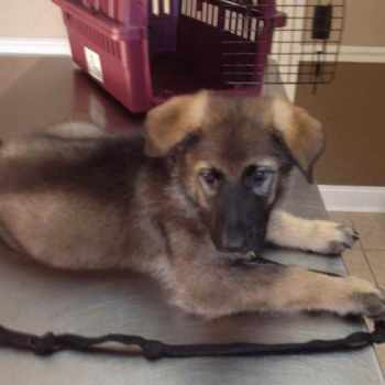 German Shepherd Puppies For Sale Tampa