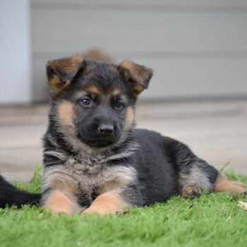German Shepherd Puppies For Sale Under 100 Dollars
