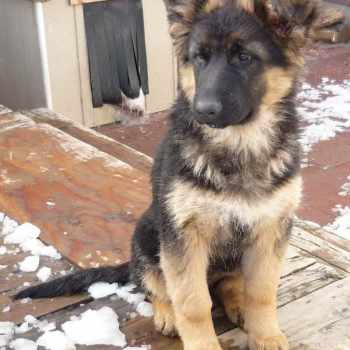 German Shepherd Puppies For Sale Washington